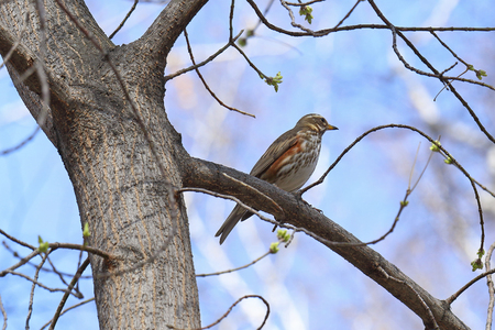 Turdus iliacus. A bird sitting on the tree in early spring