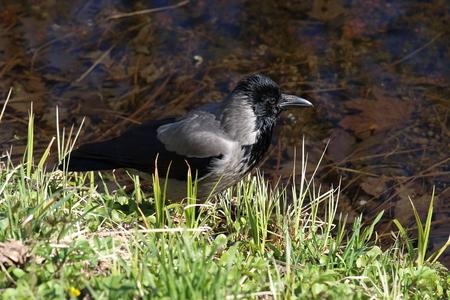 Corvus cornix. Hooded crow on the waterfront
