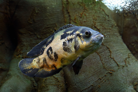 astronotus: Tiger Oscar. Tropical fish closeup