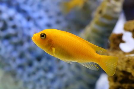 Maylandia zebra. The female fish in the aquarium