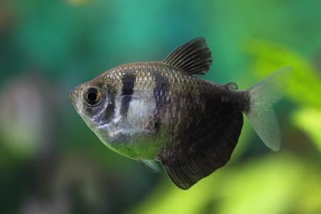 Gymnocorymbus ternetzi. Tropische Fische Schwimmen im Aquarium Stockfoto