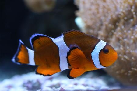 Amphiprion percula. Clown fish close-up