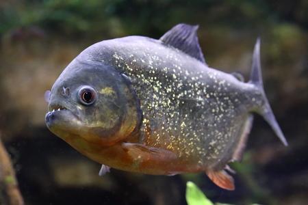 pygocentrus: Pygocentrus nattereri. Piranha closeup in the aquarium Stock Photo