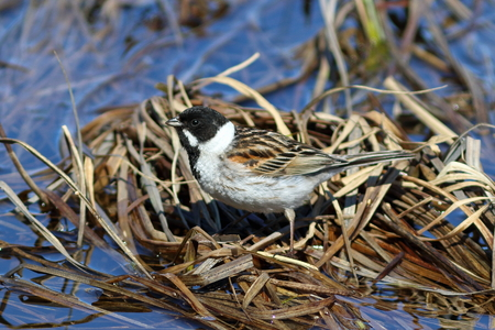 thicket: Emberiza schoeniclus. Male reed Buntings in spring in the North of Siberia