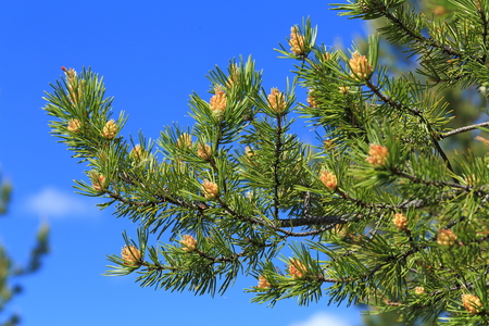 pinus sylvestris: Pinus sylvestris. Pine branch with cones and male inflorescence