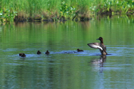 Aythya fuligula. Tufted duck with a brood of ducklings on a summer day on the Yamal Peninsula