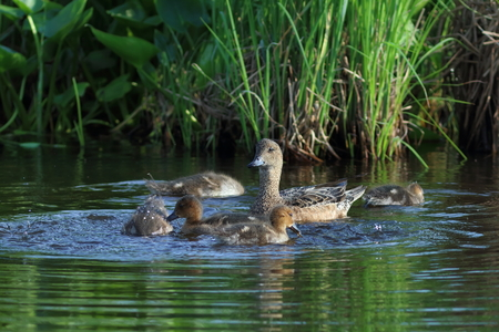 Anas penelope. Female Wigeon with a brood of ducklings on a summer day in Siberia Stock Photo