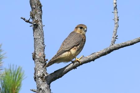 Falco columbarius. Falcon Merlin closeup in the North of Western Siberia Stock Photo