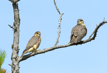 Falco columbarius. Two falcons Merlins sitting on the dry branches in Siberia Stock Photo