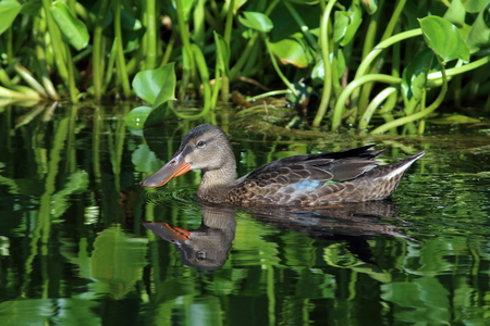 Anas clypeata. The female Northern Shoveler in the summer on the Yamal Peninsula