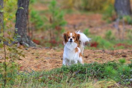 シベリアの都市公園の中で白髪犬品種 phalene