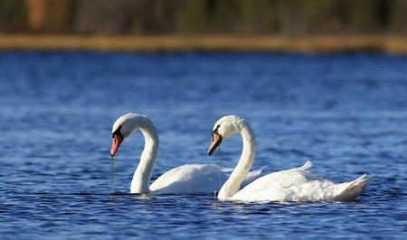 Cygnus olor. A pair of mute swans swim on the lake in the North of Western Siberia