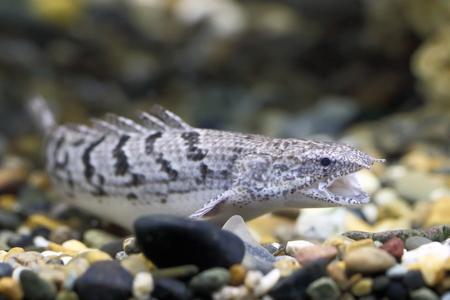 Polypterus delhezi. African tropical aquarium fish
