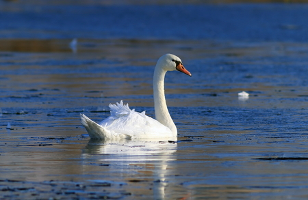 Mute Swan in late autumn floating among the ice in Northern Siberia Stock Photo