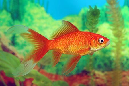 carassius auratus: Goldfish red Comet in the interior of the tank