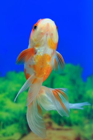 Carassius gibelio forma auratus. Colorful aquarium fish from the bottom Stock Photo