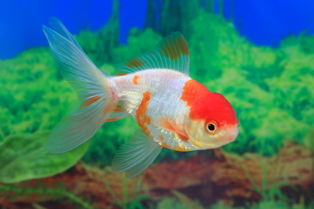 Carassius gibelio forma auratus. Colorful aquarium fish on the background of algae Stock Photo
