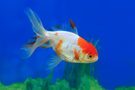 Carassius gibelio forma auratus. Colorful aquarium fish floats in water Stock Photo