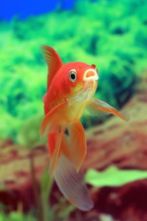 freshwater aquarium fish: Goldfish red Comet in the interior of the tank