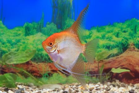 Scalars gold closeup in the aquarium Stock Photo