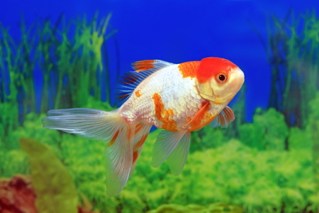 Carassius gibelio forma auratus. Oranda red cap in the aquarium Stock Photo