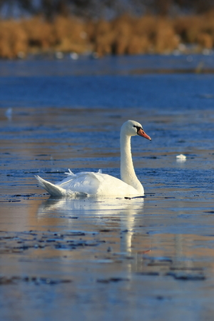 Cygnus olor. A lone mute Swan in late autumn in the North of Siberia