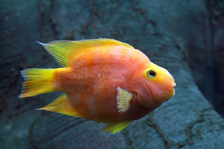 Red Parrot Cichlid. Aquarium parrot fish swimming in the aquarium