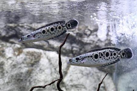 Channa pleurophthalma. Two spotted snakehead swim in an aquarium