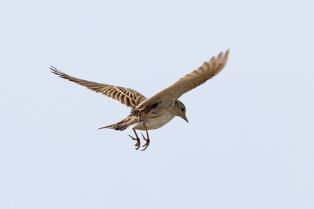 Alauda arvensis. The Skylark in flight to the Siberian steppe