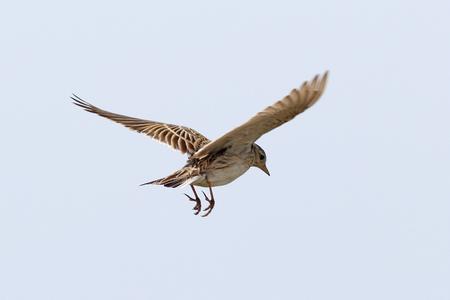 Alauda arvensis. Le Skylark en vol vers la steppe sibérienne