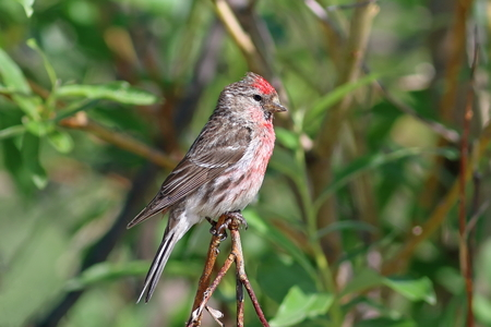 Carduelis flammea. Common Redpoll sits among the branches