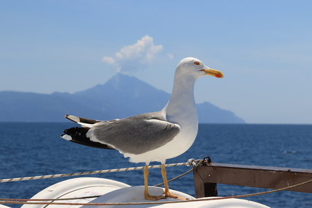 Larus michahellis. Mediterranean Seagull on the background of St. Athos