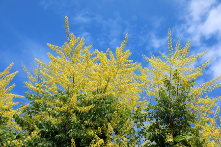 Koelreuteria paniculata. Yellow flowers of the plant against the blue sky Banco de Imagens