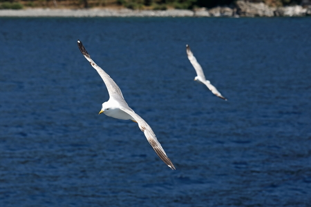Larus michahellis. Mediterranean Seagull flying against the sky and Greek mountains Stock Photo