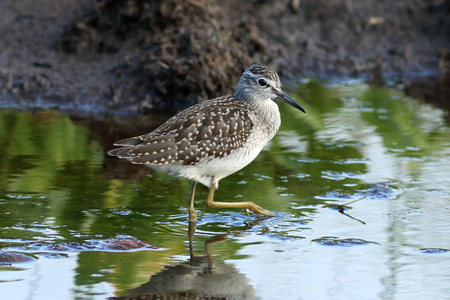 Tringa glareola. Wood sandpiper summer day on the lake in Siberia