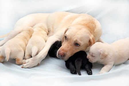 Labrador fawn suit feeds its puppies
