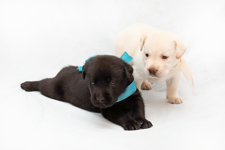 Three-week puppies of Labrador of pale yellow and black suit close-up Reklamní fotografie