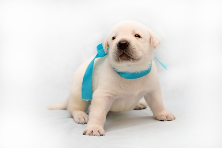 Small Labrador puppy of a pale-yellow suit on a light background Reklamní fotografie
