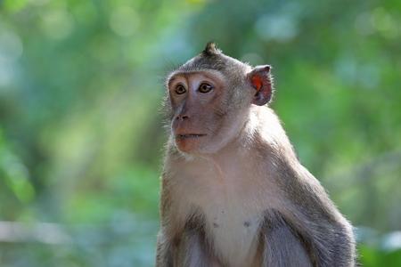 Macaca fascicularis. Macaque crab close-up in Thailand 版權商用圖片