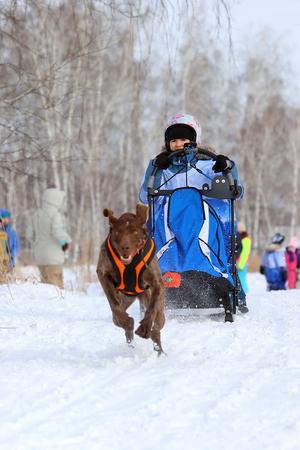 Nowosibirsk, Russland - 23. FEBRUAR 2019: Das Mädchen im Schlitten und der Hund ist eine norwegische Rasse während des Festivals in Sibirien?