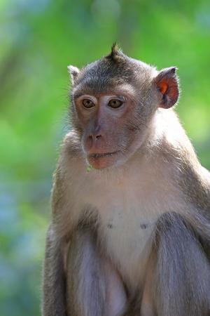 Macaca fascicularis. Retrato de un macaco cangrejero sobre un fondo verde