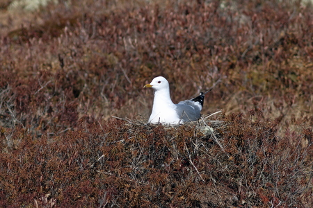 Larus canus. Mew Gull hatches a nest in the Yamal tundra in spring