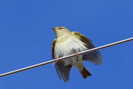 Phylloscopus trochilus. Willow Warbler spring in the North of Western Siberia