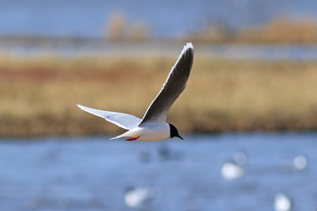 Larus minutus. Little Gull in the spring in Northern Siberia Standard-Bild