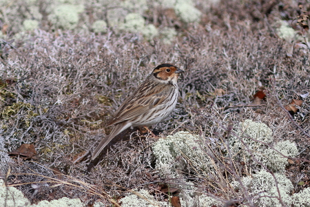 Ocyris pusilla. Little Bunting in the spring in the North of Siberia among the moss Foto de archivo - 124978367