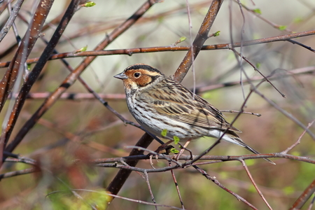 Ocyris pusilla. Little Bunting in the spring in the North of Siberia among the branches of the Bush