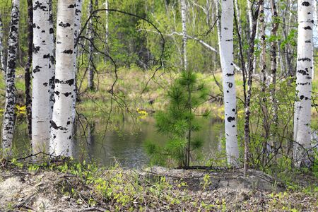 Young cedar among birches on the lake in the North of Siberia Foto de archivo