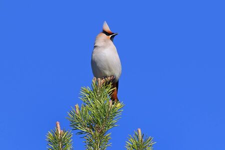 Bombycilla garrulus. The Waxwing in the summer, sitting on the top of the pine in Siberia Stock fotó
