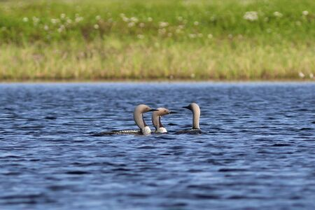 Gavia arctica. Three Arctic Loon swim among the tundra lake in Northern Siberia