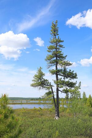 Summer Yamal landscape with Siberian pine Sunny summer day Stock Photo